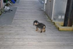Little dog at Victoria's Fisherman's Wharf.jpg