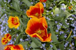 Orange and red flower close up at the Butchart Gardens.jpg