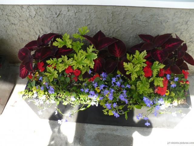 Rectangular window box plant and floral arrangement at the Potted plant and floral arrangement at the Butchart Gardens.jpg