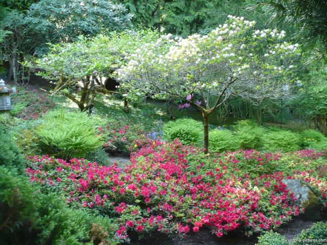 Red flowers and trees with white flowers at the Japanese Garden at the Butchart Gardens.jpg