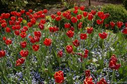 Red tulips at the Butchart Gardens.jpg
